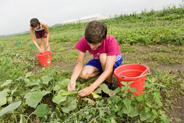 Harvesting cucumbers at the Sustainable Student Farm